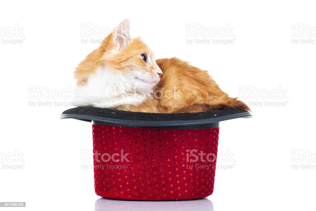 side view of a cute cat in a hat stock photo