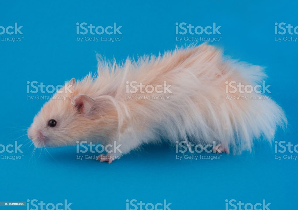 Long Haired Hamster Colors 91