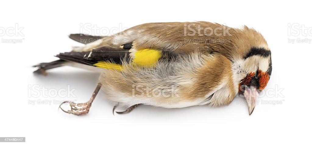 Side view of a dead European Goldfinch stock photo