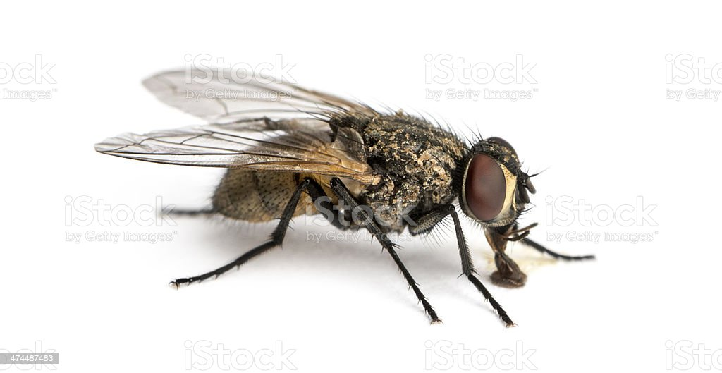 Side View Of A Dirty Common Housefly Eating Musca Domestica Stock ...