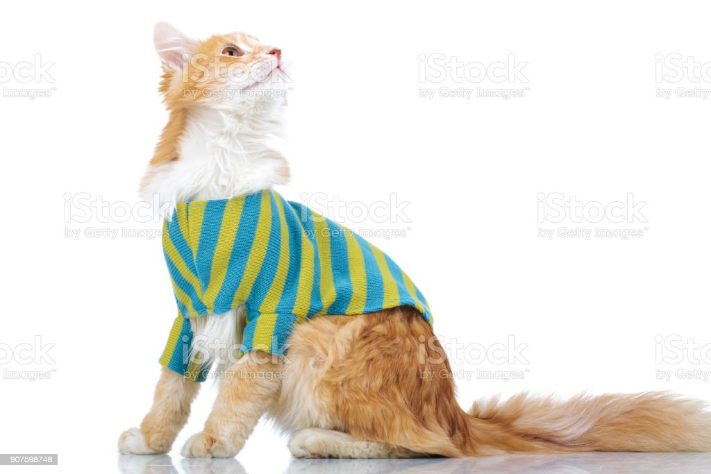 side view of a dressed cat looking up stock photo