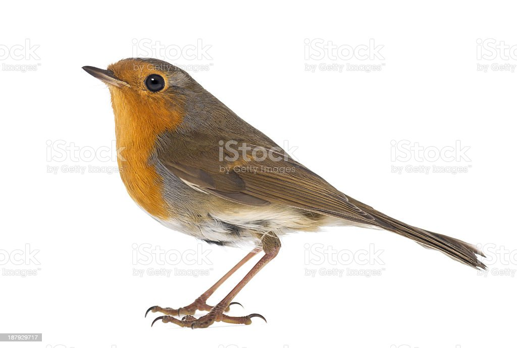 side view of a European Robin, Erithacus rubecula, isolated stock photo