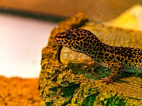 Head of a leopard gecko in a terrarium