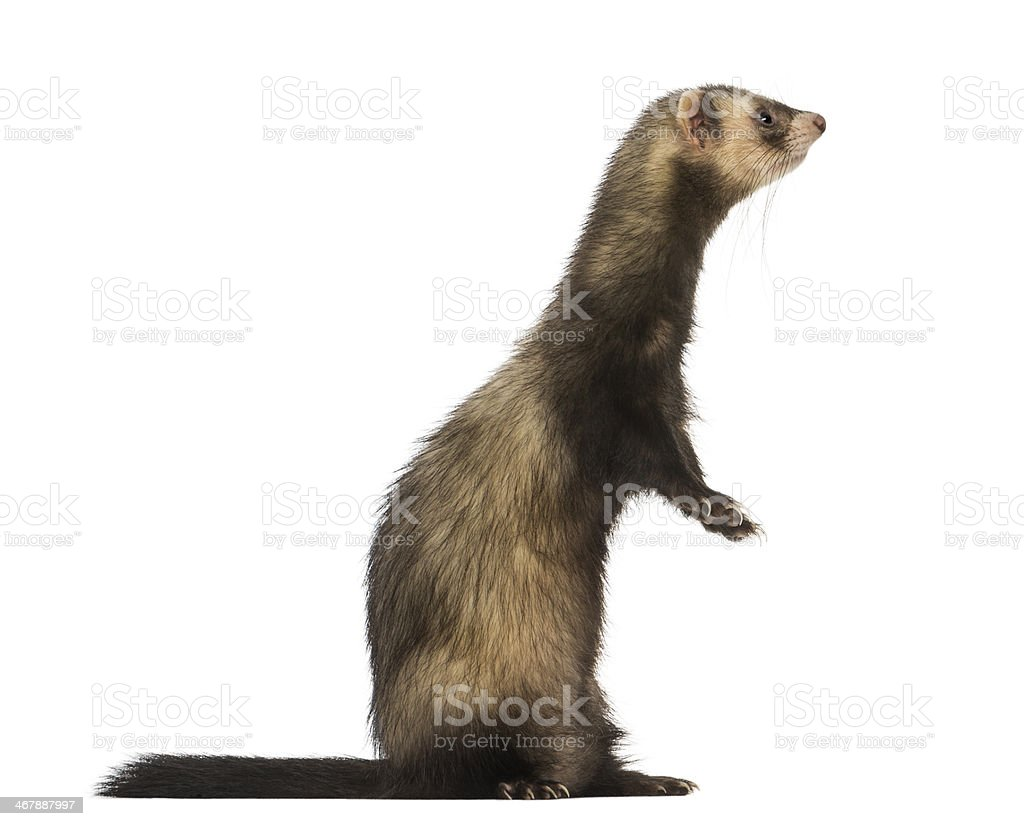 Side view of a Ferret standing on hind legs, isolated stock photo