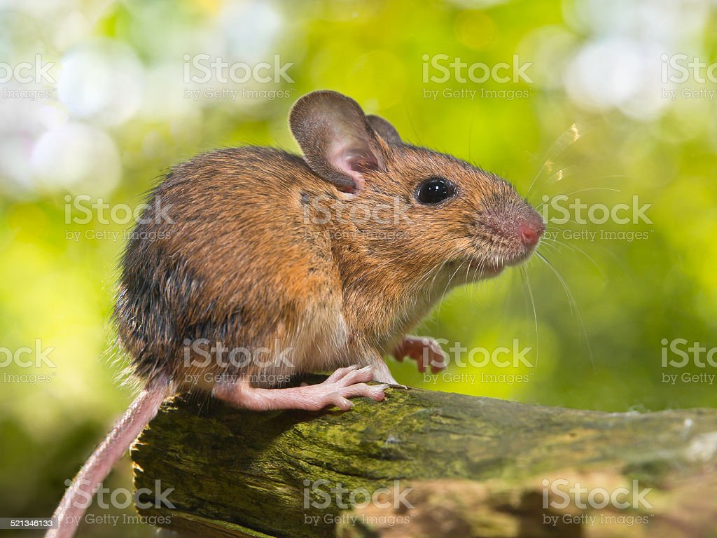 Side View of a Field Mouse (Apodemus sylvaticus) on Branch stock photo