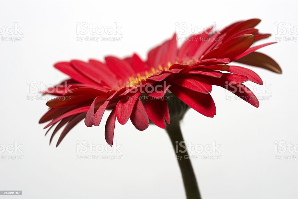 Side view of a Gerbera Daisy royalty free stockfoto