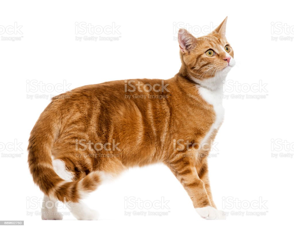 side view of a Ginger mixed-breed cat standing, isolated on white stock photo