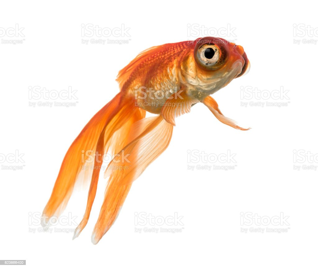 Side view of a Goldfish in water, looking up stock photo