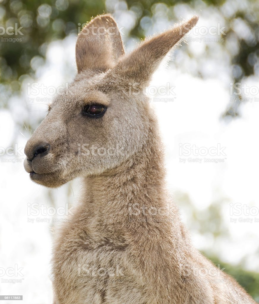 Side view of a Kangaroo. royalty-free stock photo