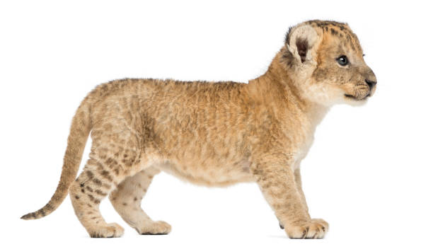 Side view of a Lion cub standing, 16 days old, isolated on white stock photo
