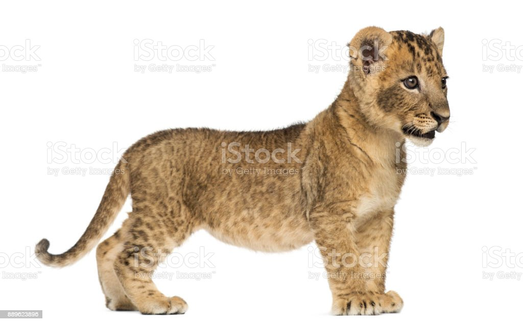 Side view of a Lion cub standing, looking away, 7 weeks old, isolated on white stock photo