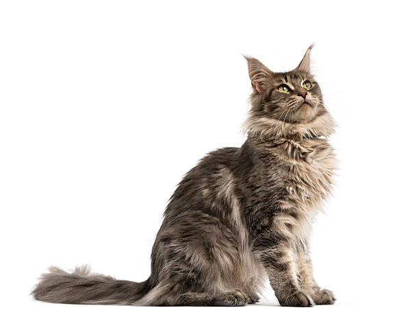 Side view of a maine coon sitting isolated on white picture id625443256?b=1&k=6&m=625443256&s=612x612&w=0&h=shtiwarxtnaer95lw yi ihsanqitn02gdapqgb je0=