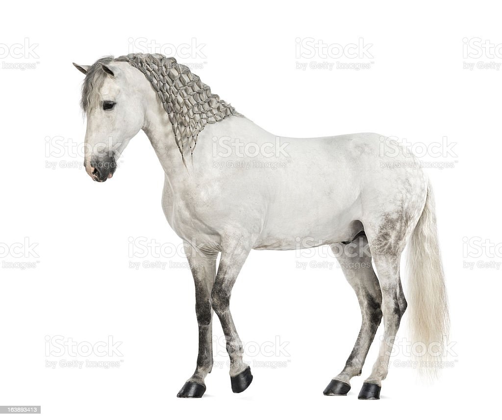 Side view of a Male Andalusian with plaited mane royalty-free stock photo
