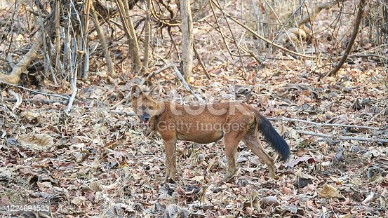 side view of a male dhole also known as an asiatic wild dog at tadoba andhari tiger reserve in India