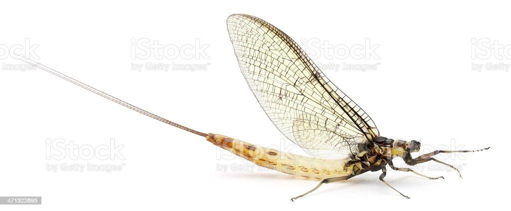Side view of a Mayfly, Ephemera danica, white background. stock photo