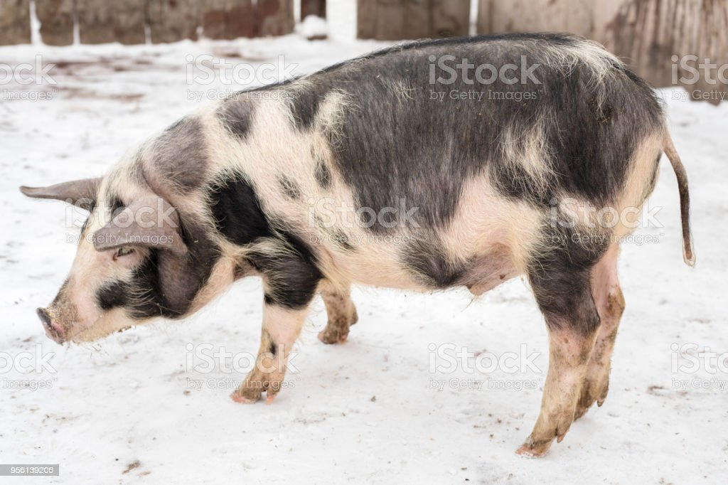 Side view of a pig with black spots, on a farm stock photo