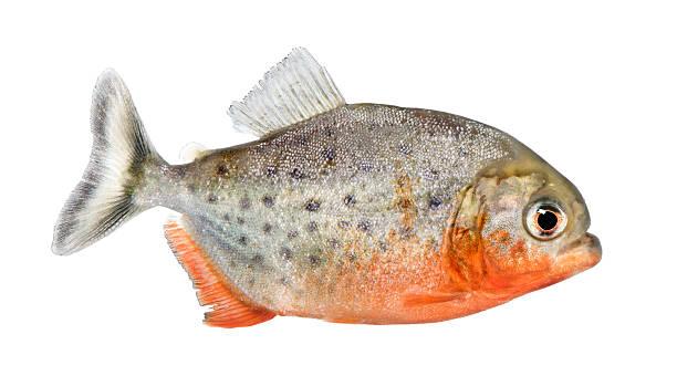 widok z boku o pirania ryb-serrasalmus nattereri - pirania zdjęcia i obrazy z banku zdjęć