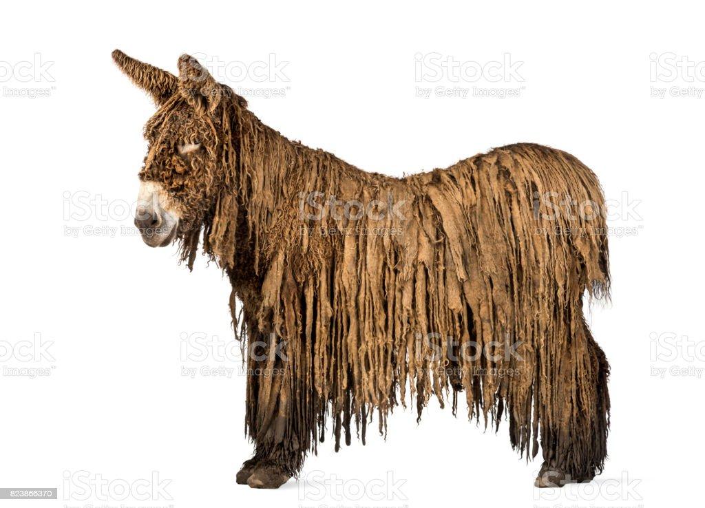 Side view of a Poitou donkey,  isolated on white stock photo
