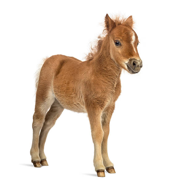 side view of a poney, foal against white background - fohlen stock-fotos und bilder