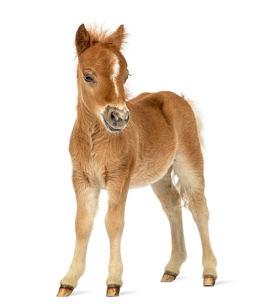 side view of a poney, foal facing against white background - fohlen stock-fotos und bilder