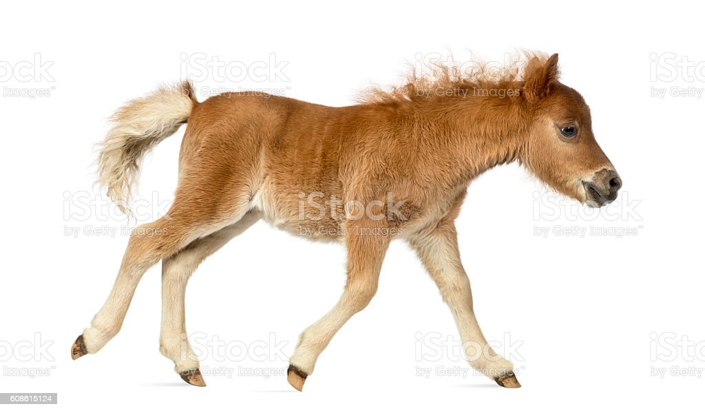 Side view of a poney, foal trotting against white background stock photo