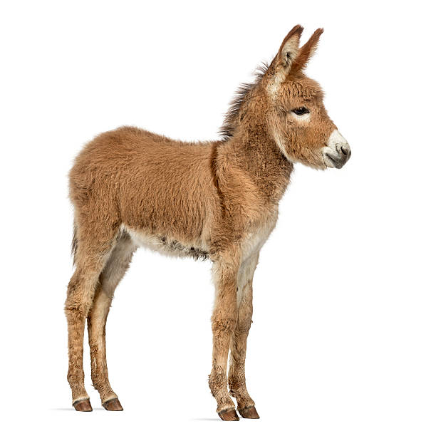 Side view of a Provence donkey foal isolated on white Side view of a young Provence donkey, foal isolated on white foal young animal stock pictures, royalty-free photos & images