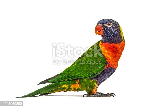 istock Side view of a Rainbow Lorikeet, Trichoglossus moluccanus, isolated 1218050863