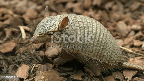 a side view of a screaming hairy armadillo in washington d.c.
