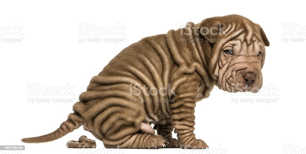 Side view of a Shar Pei puppy defecating stock photo