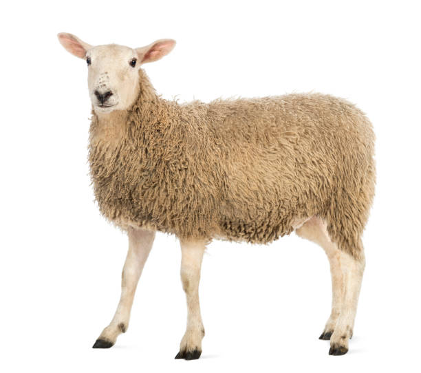Side view of a sheep looking at camera against white background picture id1069137028?b=1&k=6&m=1069137028&s=612x612&w=0&h=xi7vta4xmdpi1naccdxbpln6g9t 1lt1rnfcwawzvso=