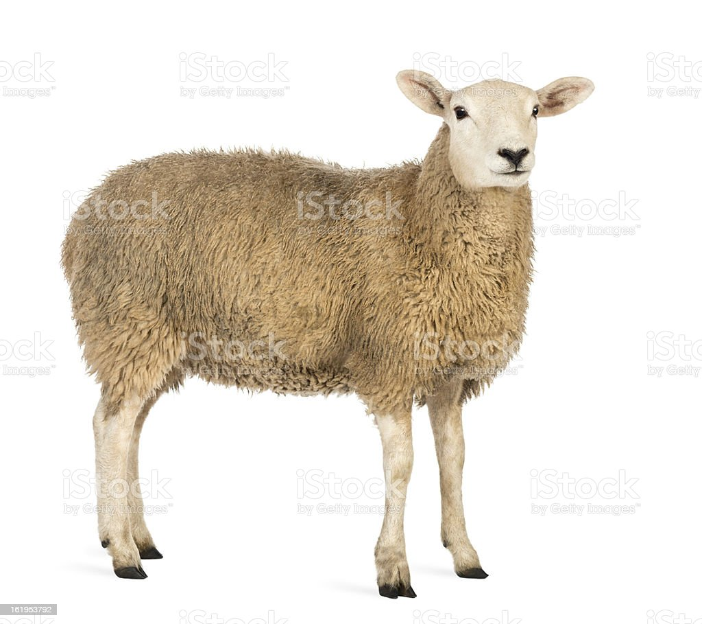 Side view of a Sheep looking away against white background stock photo