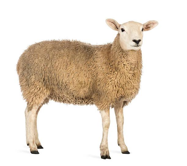 Vista laterale di una pecora guardando lontano su sfondo bianco - foto stock
