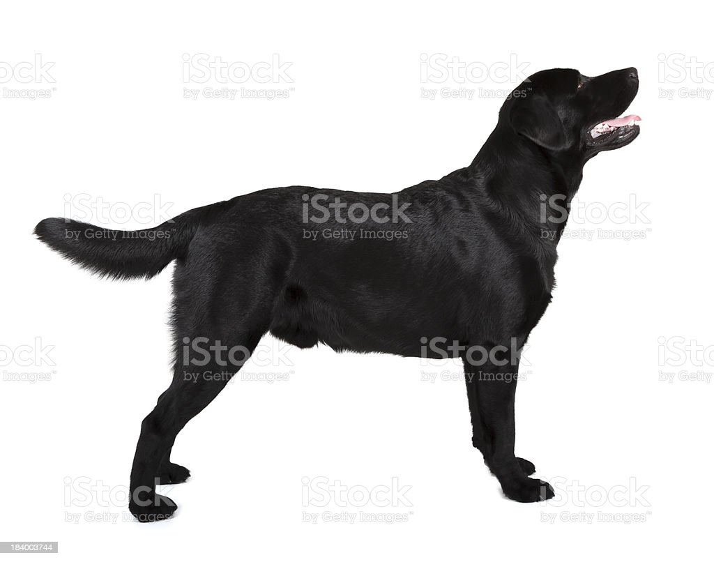Side view of a standing Black Labrador Retriever stock photo