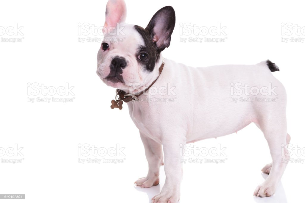Side View Of A Standing French Bulldog Puppy Dog Stock Photo Download Image Now Istock