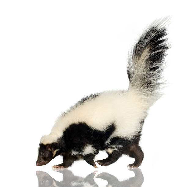 side view of a striped black and white skunk - skunk stock photos and pictures