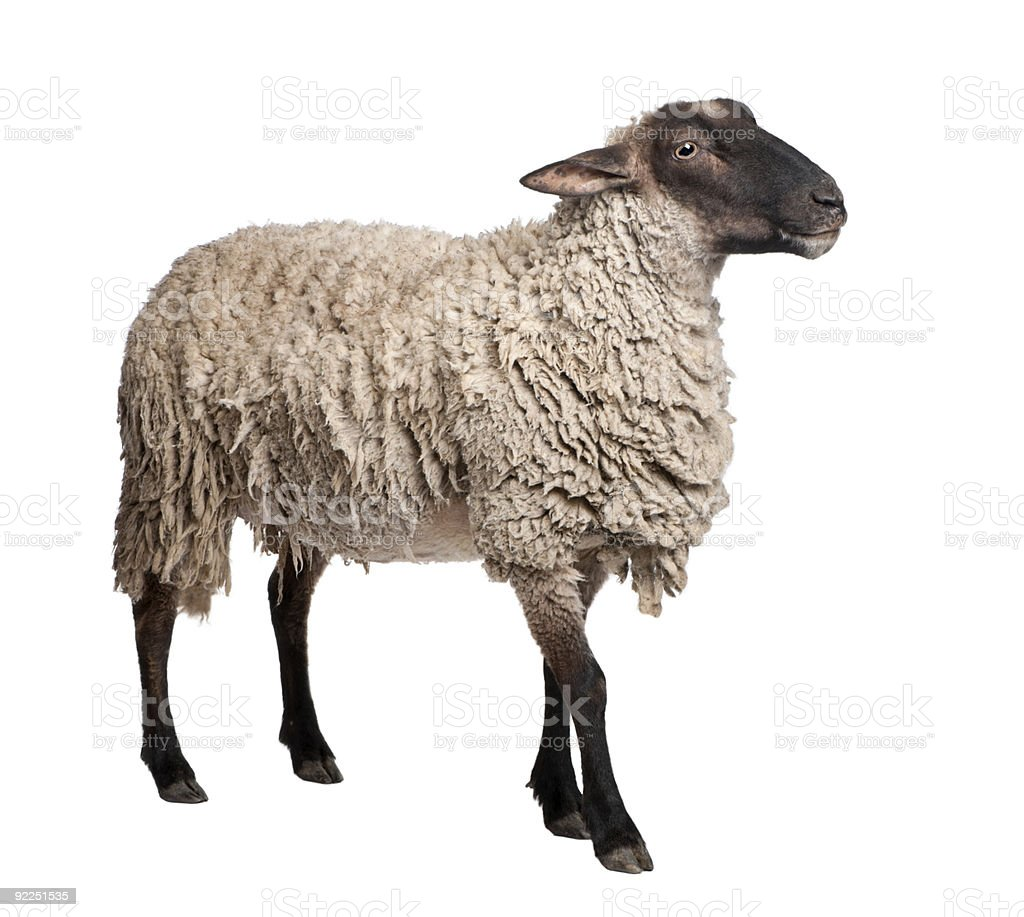Side view of a Suffolk sheep (6 years old) stock photo