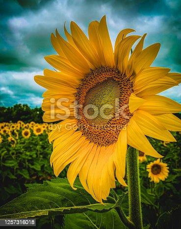 Side view of a sunflower taken in Brimfield, Illinois