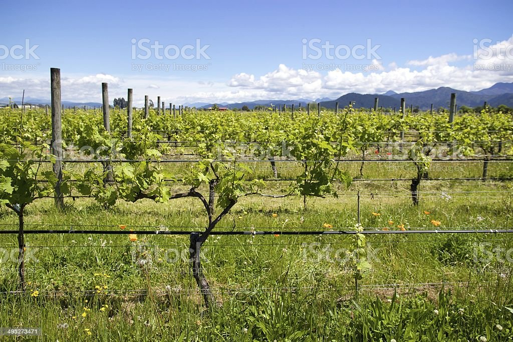 Side view of a vineyard in Marlborough, New Zealand royalty-free stock photo