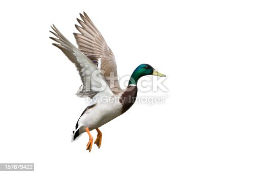 Flying Mallard Duck against a white background.
