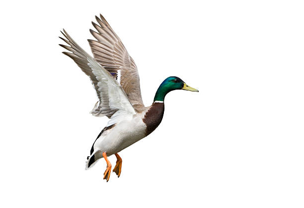 Side view of a white, green and brown Flying Mallard Drake Flying Mallard Duck against a white background. drake male duck stock pictures, royalty-free photos & images