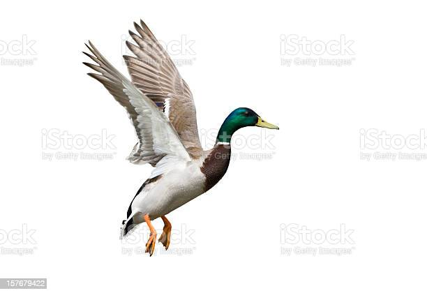 Flying Mallard Duck against a white background.