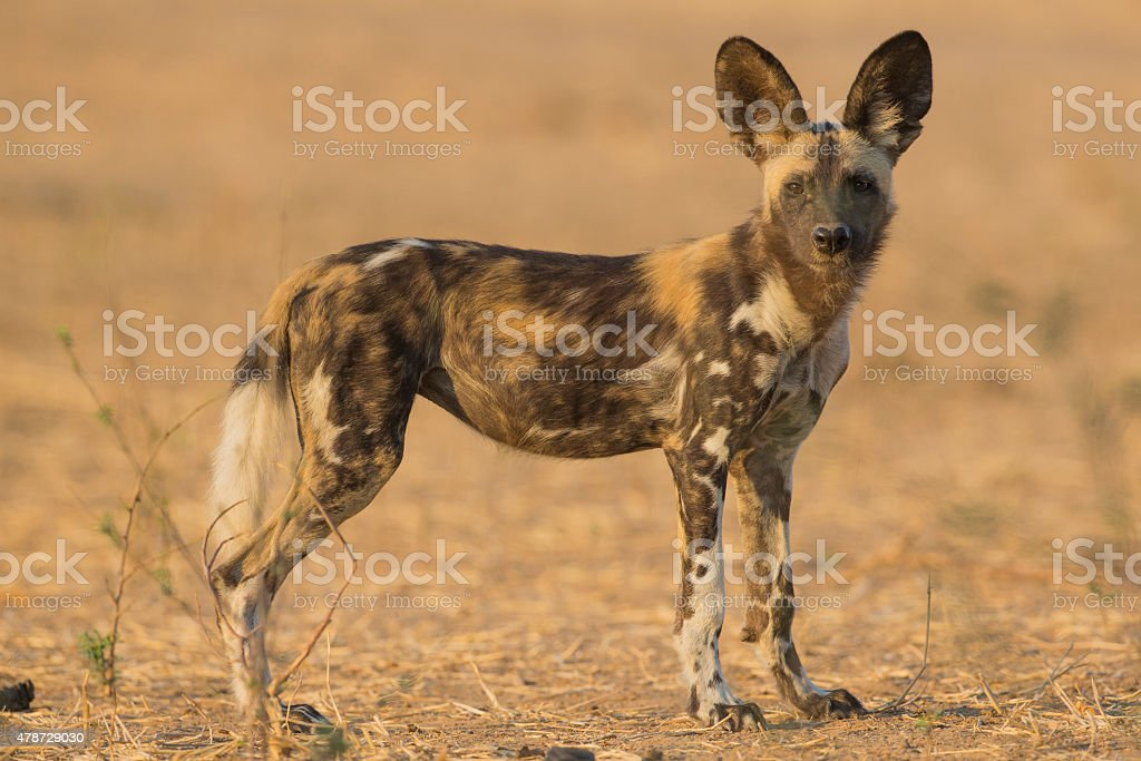 Side view of a Wild Dog pup stock photo