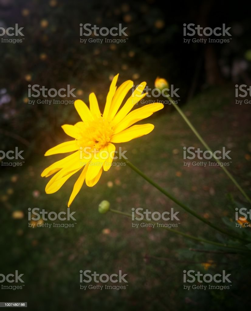 Side View Of A Yellow Chrysopsis Mariana Flower Goldenaster