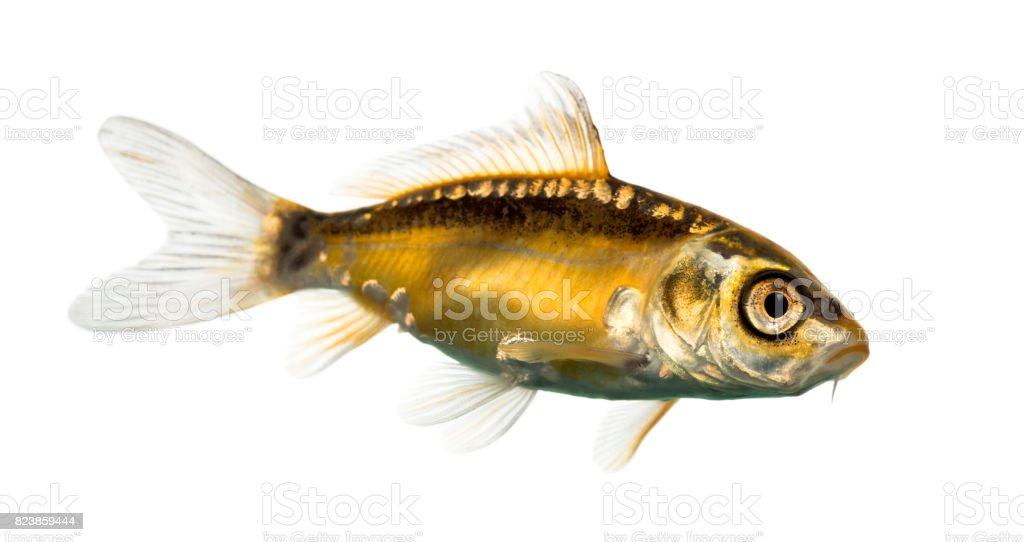 Side view of a yellow koi isolated on white stock photo