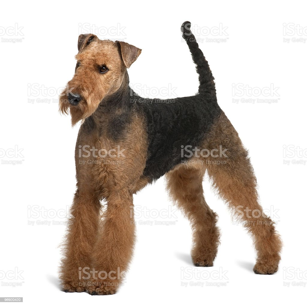 Side view of Airedale Terrier, standing and looking away royalty-free stock photo