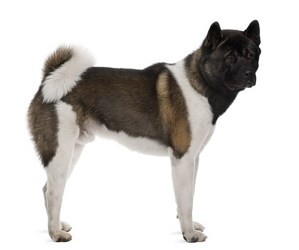 Side view of Akita inu standing against white background stock photo