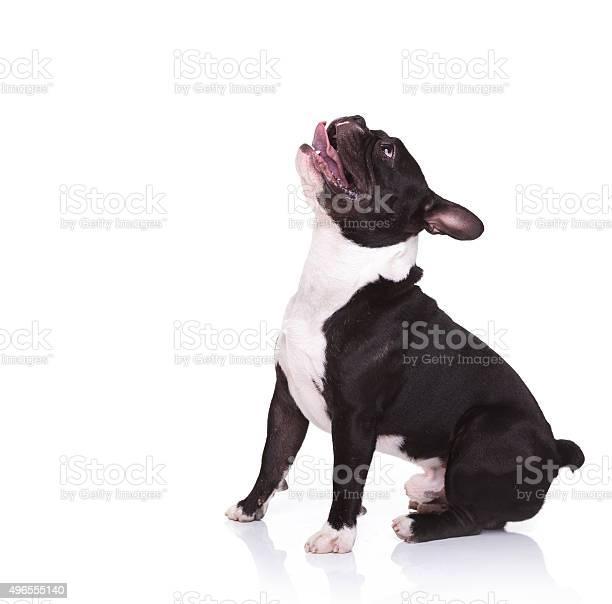 Side view of an amazed french bulldog puppy looking up picture id496555140?b=1&k=6&m=496555140&s=612x612&h= q7ow6uta5etahkpgythjtot 8kofgu0epgltb9ivlw=