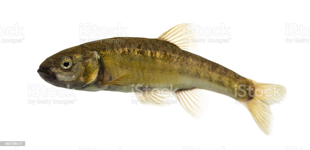 Side view of an Eurasian minnow royalty-free stock photo