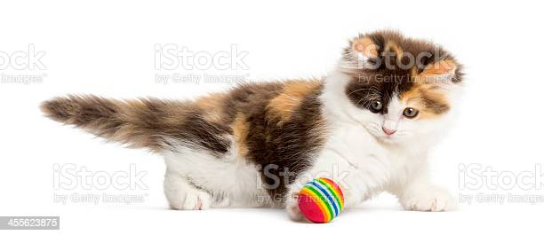 Side view of an higland straight kitten playing with ball picture id455623875?b=1&k=6&m=455623875&s=612x612&h=otc7iezy0jbsertvvtedoi22ecpdw  acaptnrjwj24=