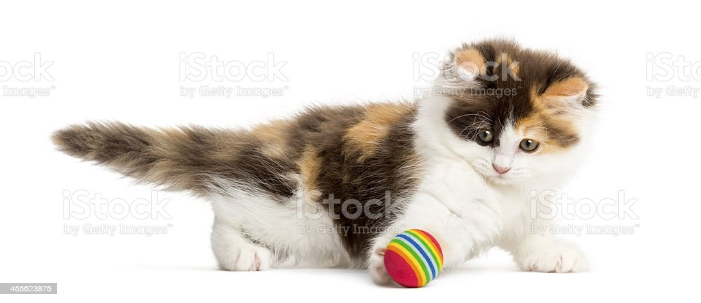Side view of an Higland straight kitten playing with ball stock photo